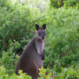Saw a wild wallaby on that island!
